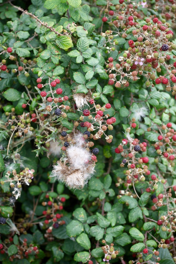 Blackberries and thistle