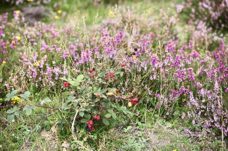 Blackberries in heather