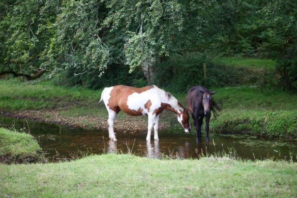 Horses in stream 1