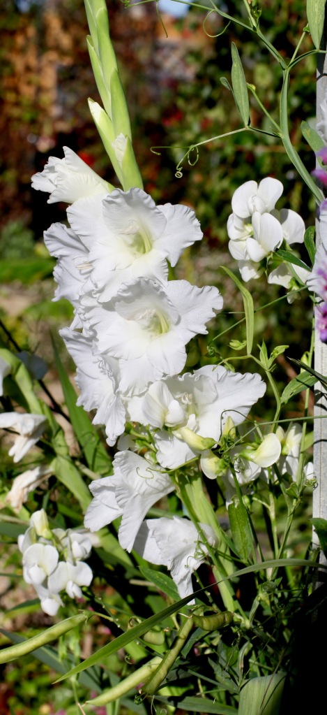 Gladiolus and sweet peas 1