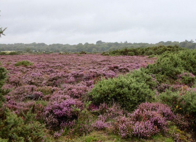 Heather and gorse 1