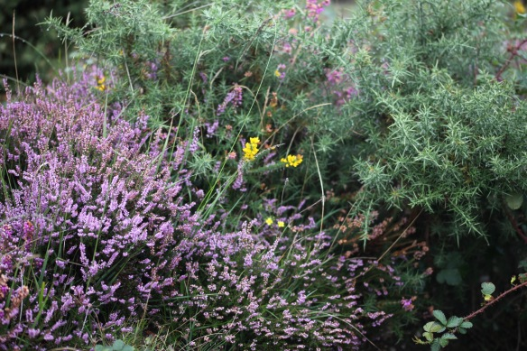 Heather and gorse 2