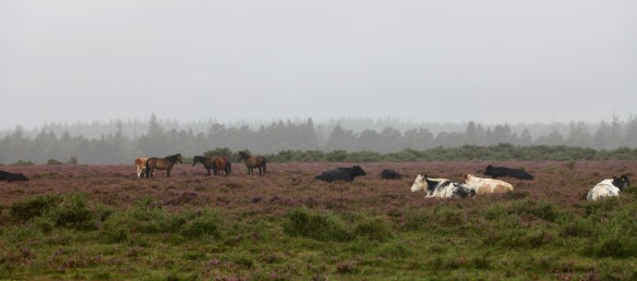 Cattle and ponies 1