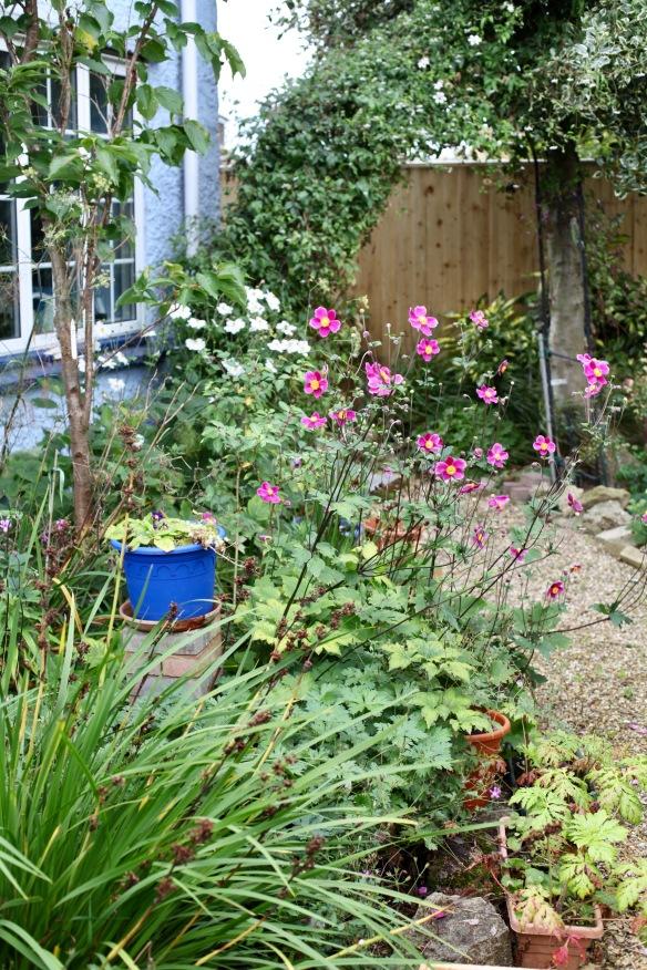 Japanese anemones in front garden