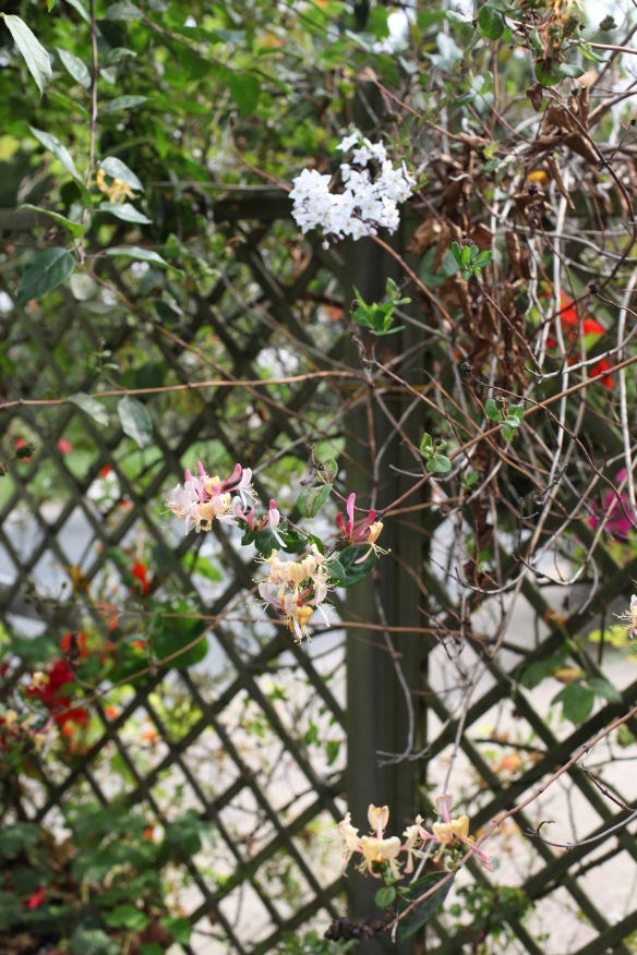 Honeysuckle and solanum on trellis