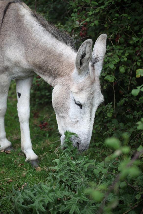 Donkey eating thistles 2