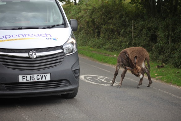 Donkey foal in road having a scratch