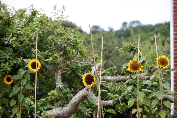 Sunflowers and acorns