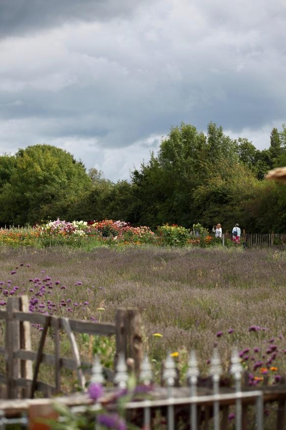 Lavender Farm 6