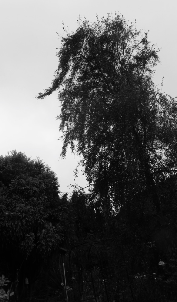Weeping birch 1