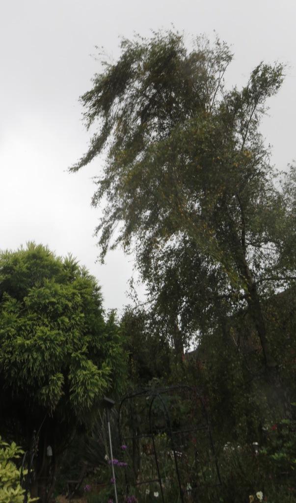 Weeping birch 2
