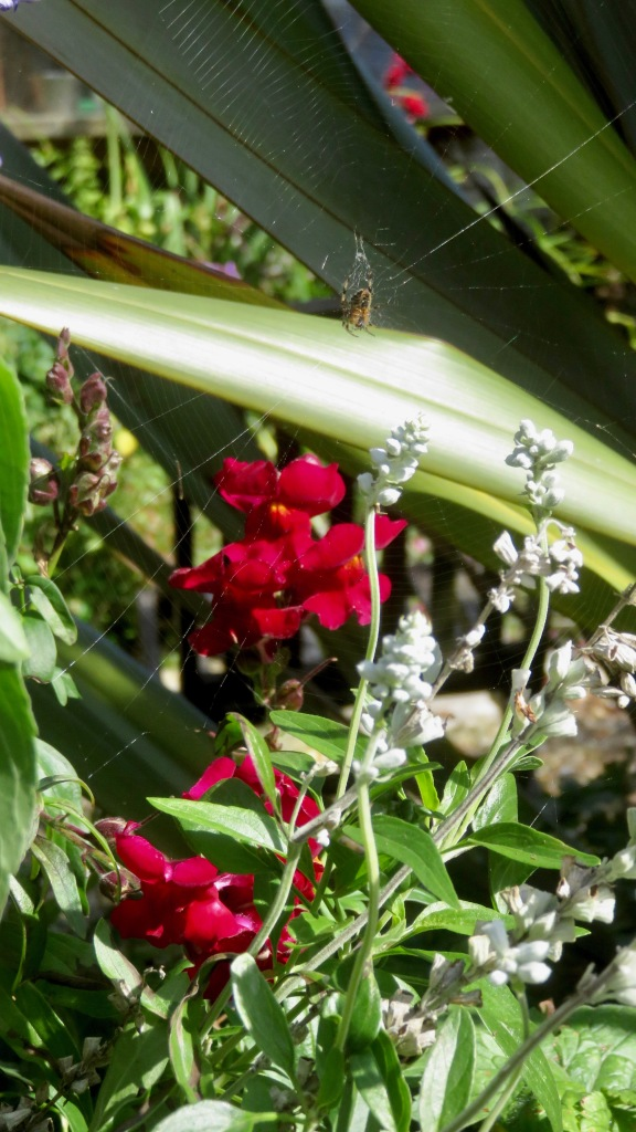 Snapdragons and spider
