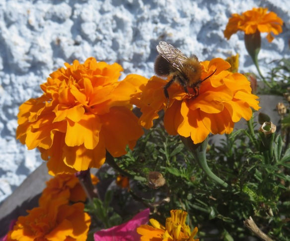 Bee on marigold