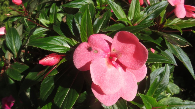 New Guinea impatiens and fly