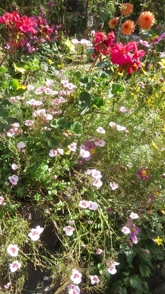 Diascias, geraniums, dahlias