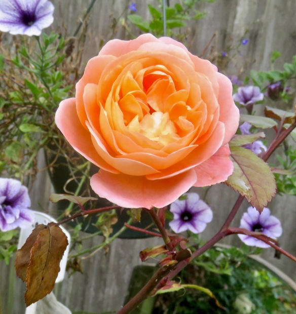 Rose Lady Emma Hamilton