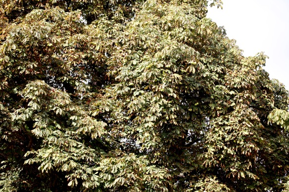 Conker tree