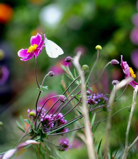 Small white butterfly on Japanese anemone