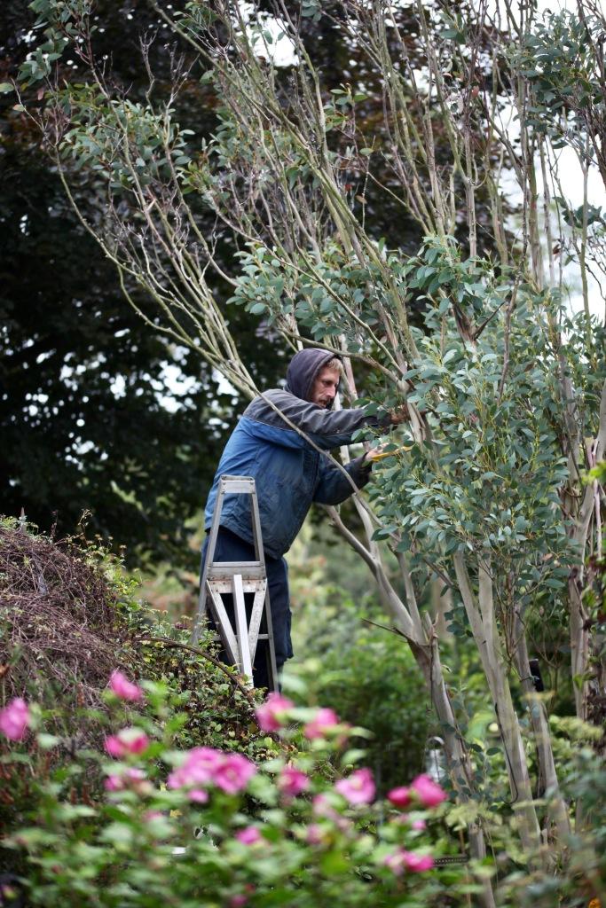 Aaron pruning eucalyptus 1