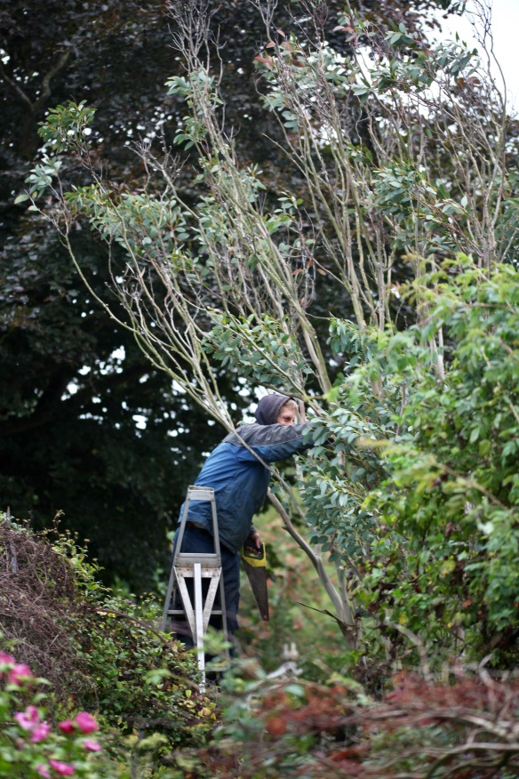 Aaron pruning eucalyptus 2