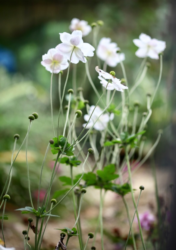 Japanese anemones 1