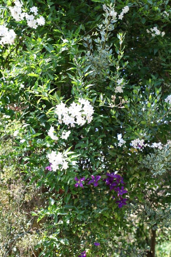 Solanum and clematis