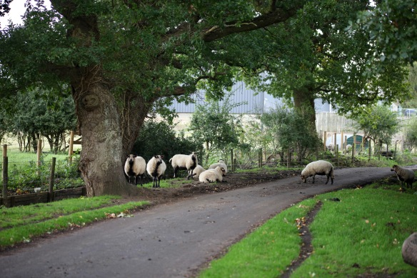 Sheep on road 1