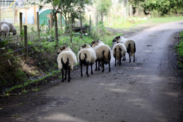 Sheep on road 2