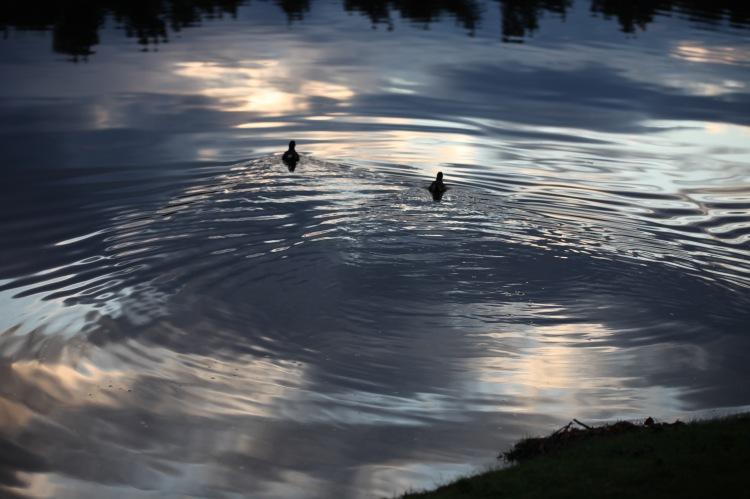 Coots on Hatchet Pond
