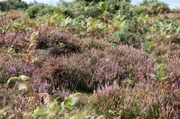 Heather and bracken 2