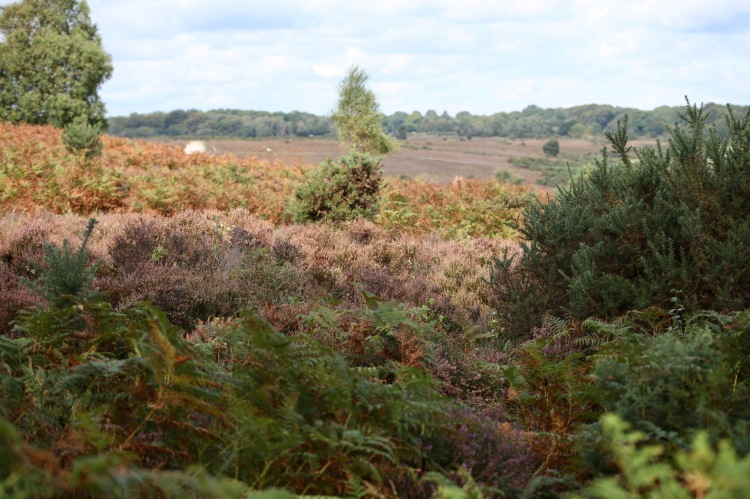 Heather, bracken, landscape 1