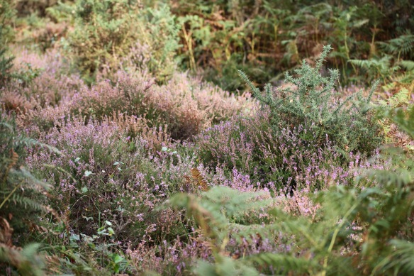 Heather, bracken, gorse 2