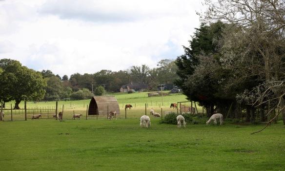 Alpacas, donkeys, sheep, horses