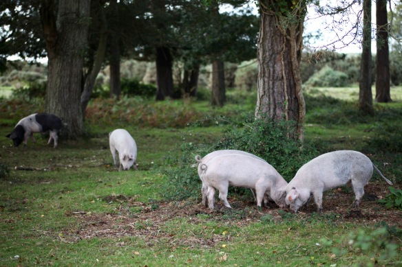 Pigs at pannage 3
