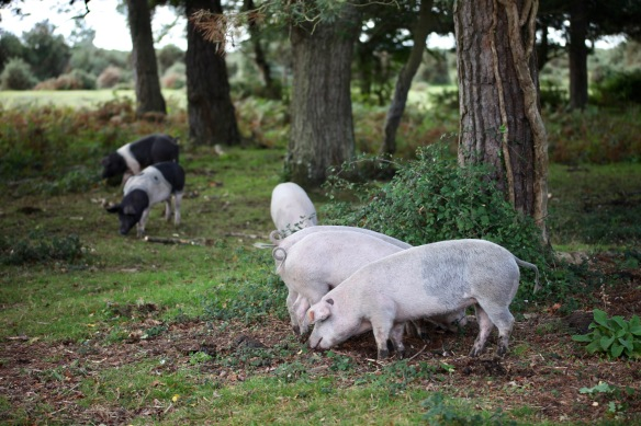 Pigs at pannage 4