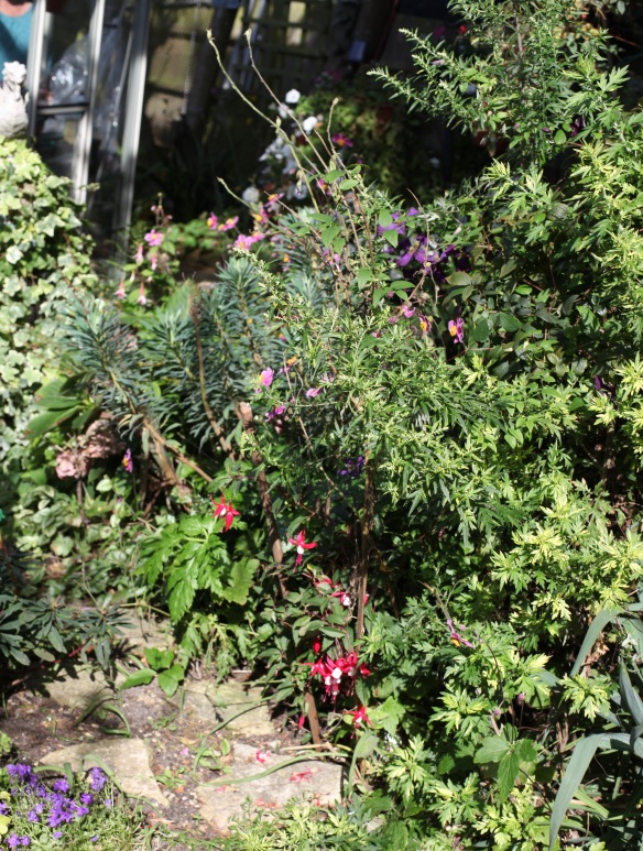 Fuchsia in Dragon Bed