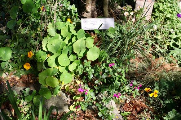 Nasturtiums, salvia microphylla, California poppies