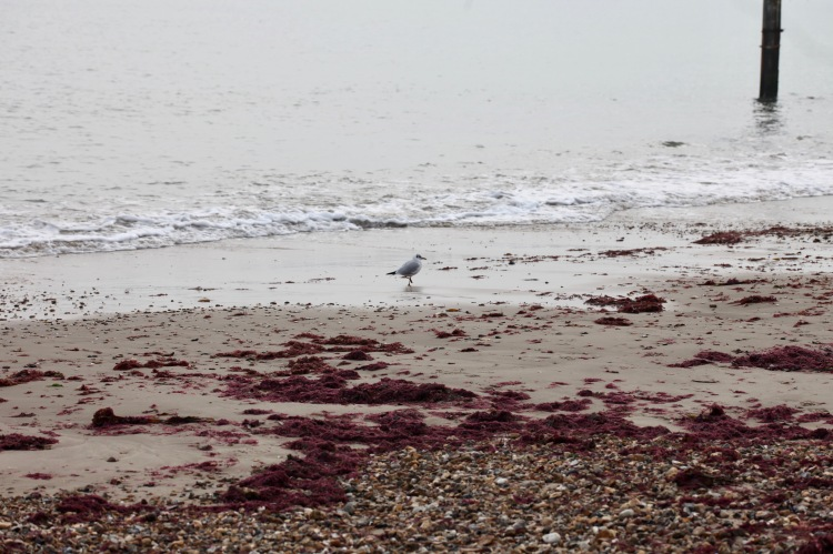 Gull and red seaweed 1