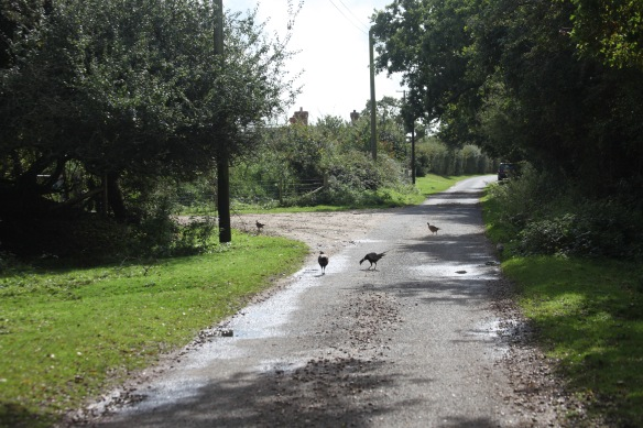 Pheasants on road