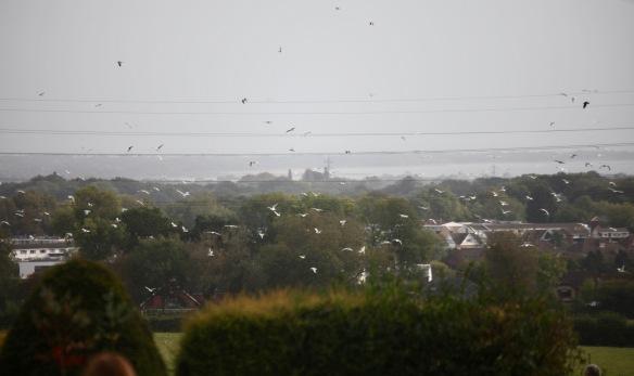 Gulls at Catherington