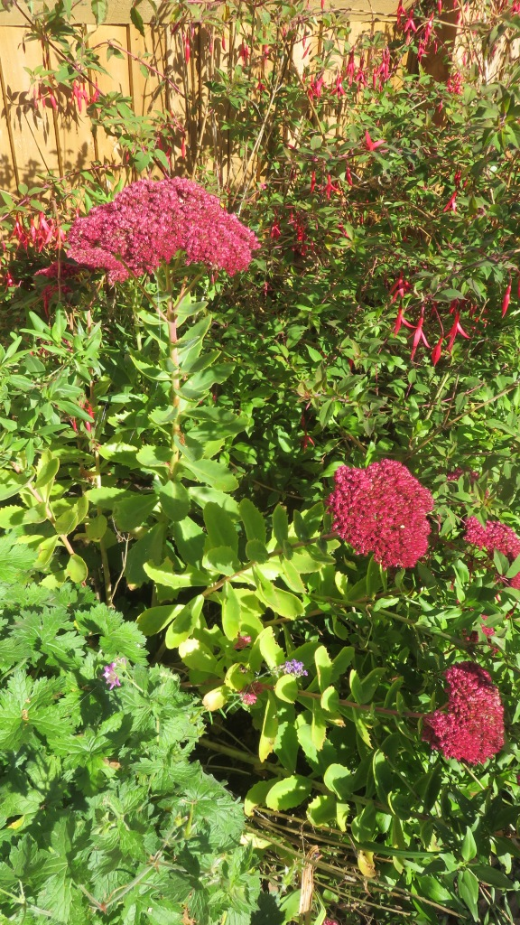Sedum and fuchsia