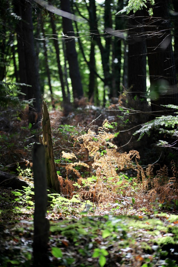 Forest ferns
