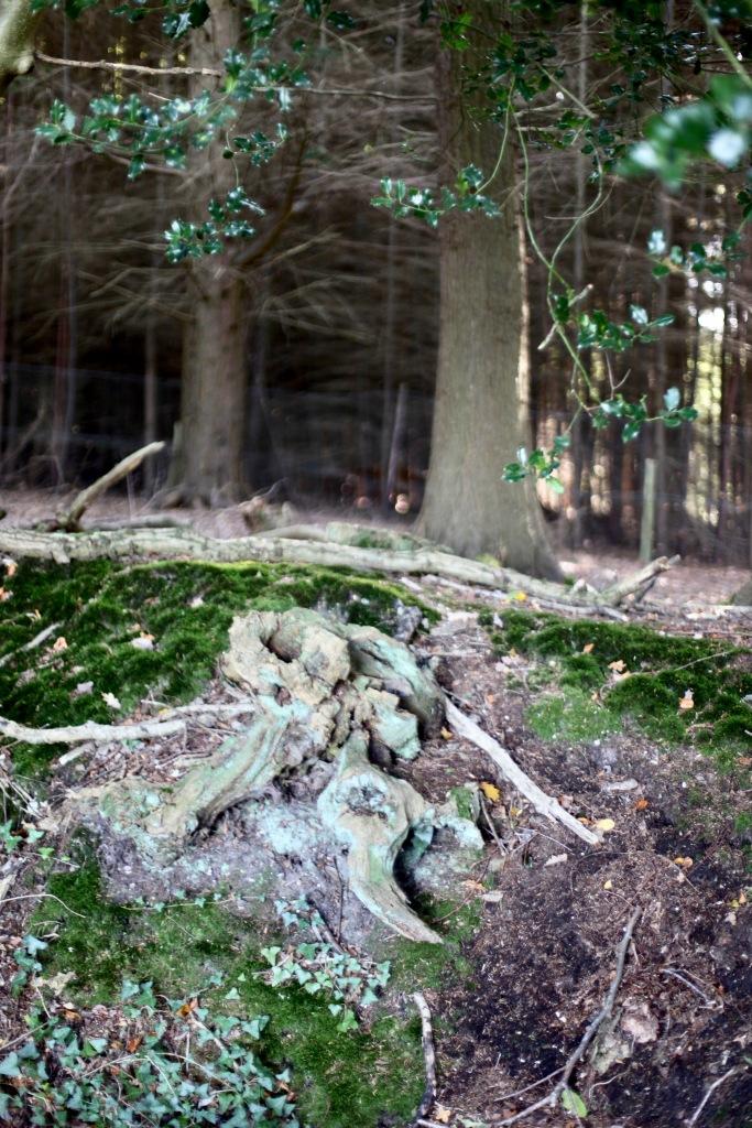 Stump on hedgerow 1