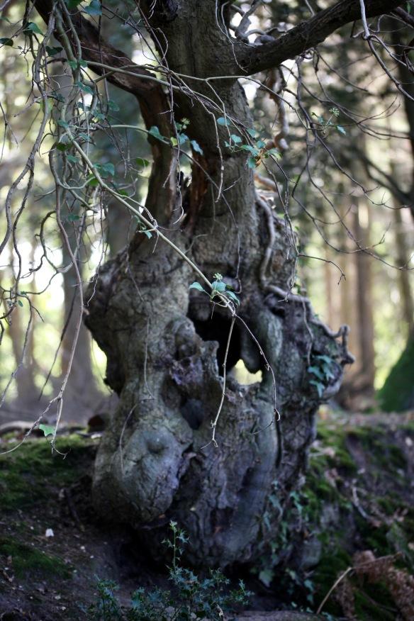 Ivy-bearing bole on hedgerow