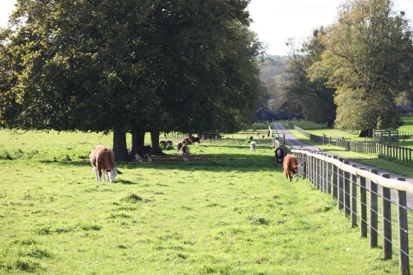 Cattle, Barford Park Farm entrance