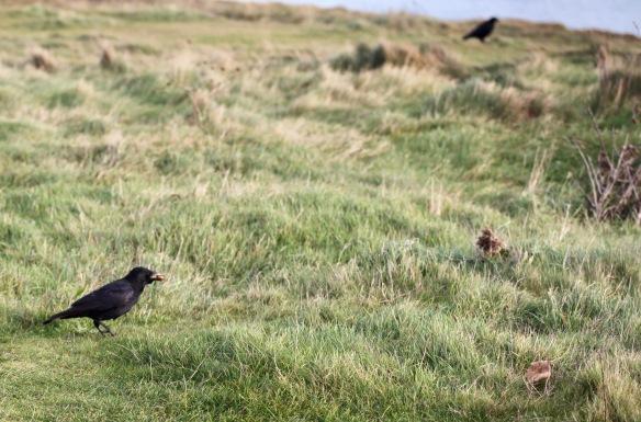 Crow 1