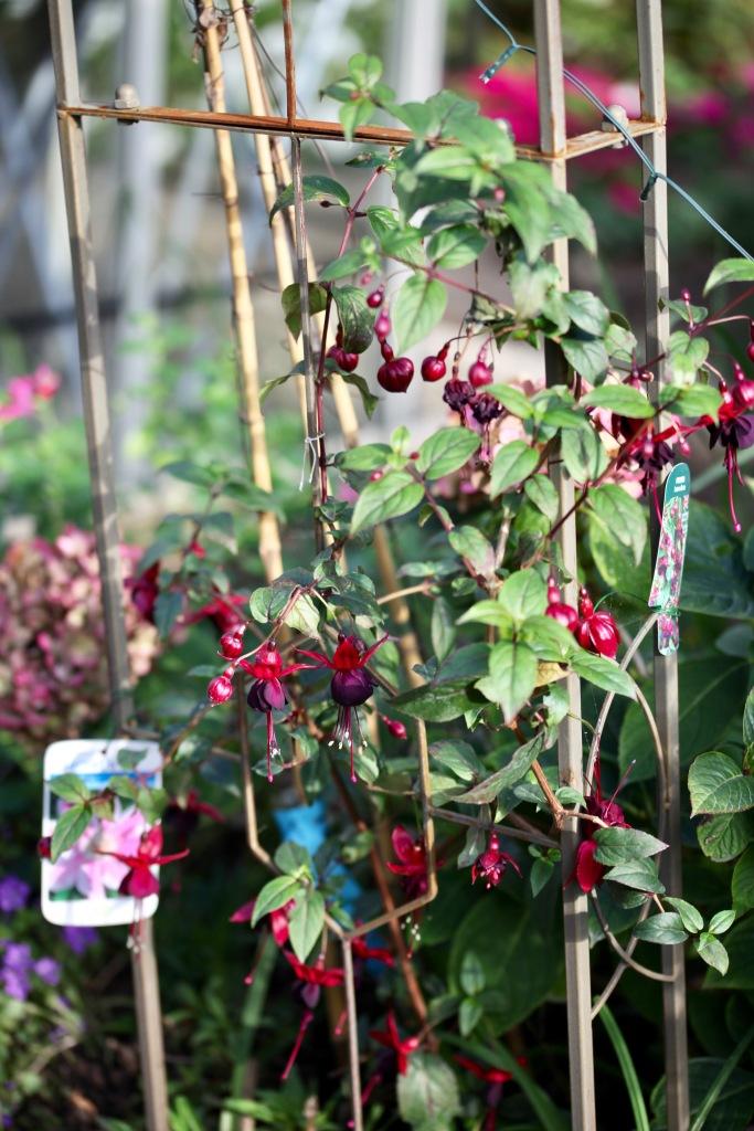 Fuchsia 6