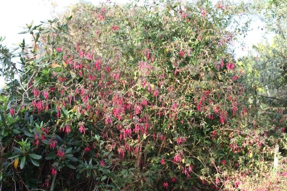 Fuchsia 8
