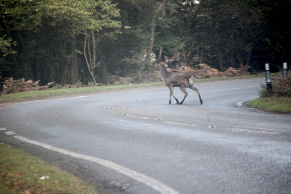 Stag on road 1
