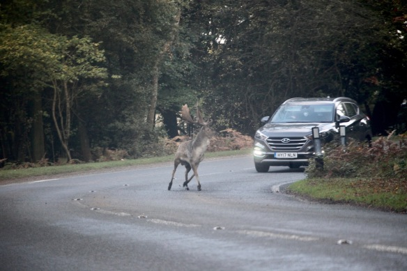 Stag on road 2